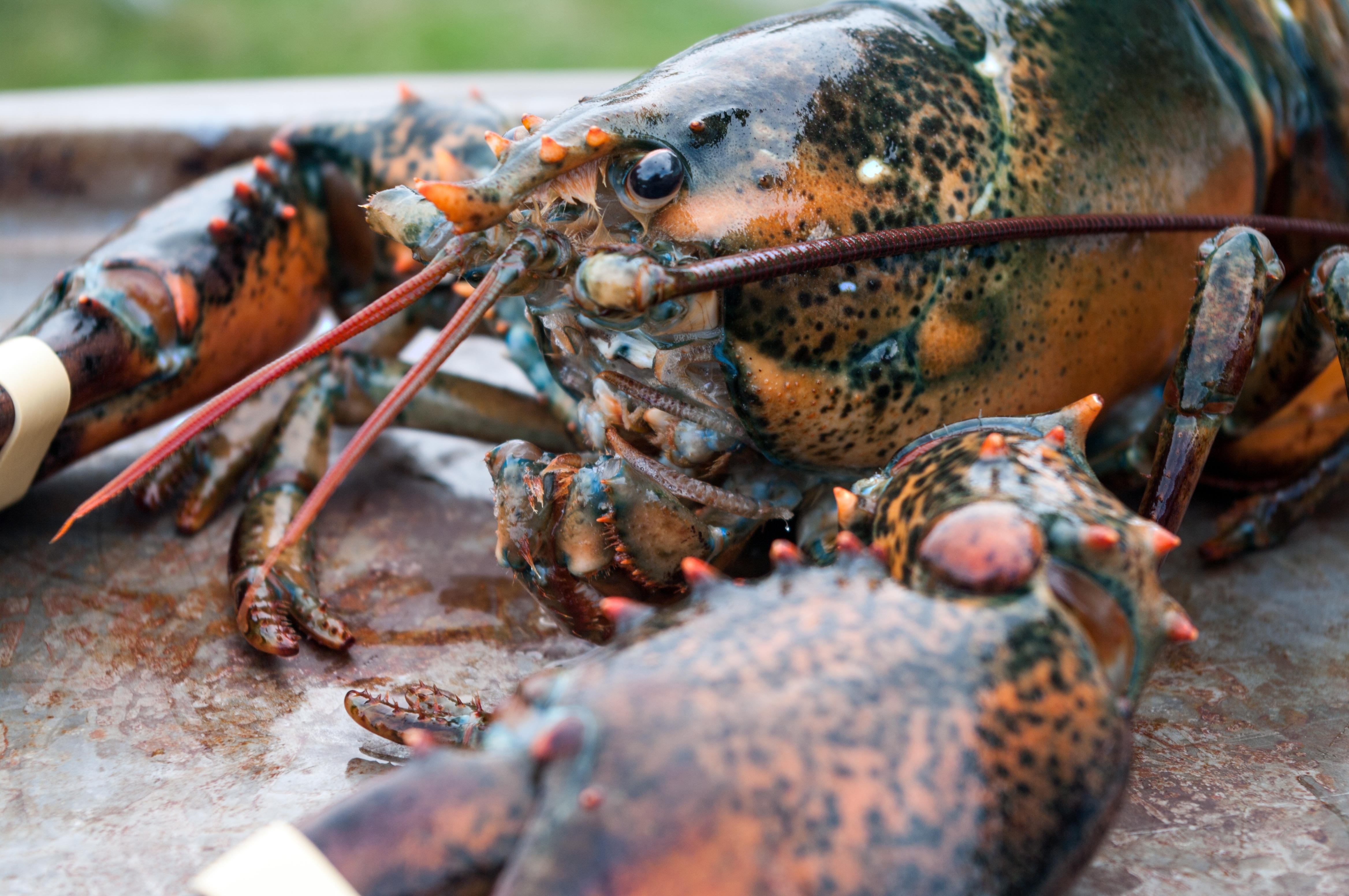 lobster | Poems and Petals