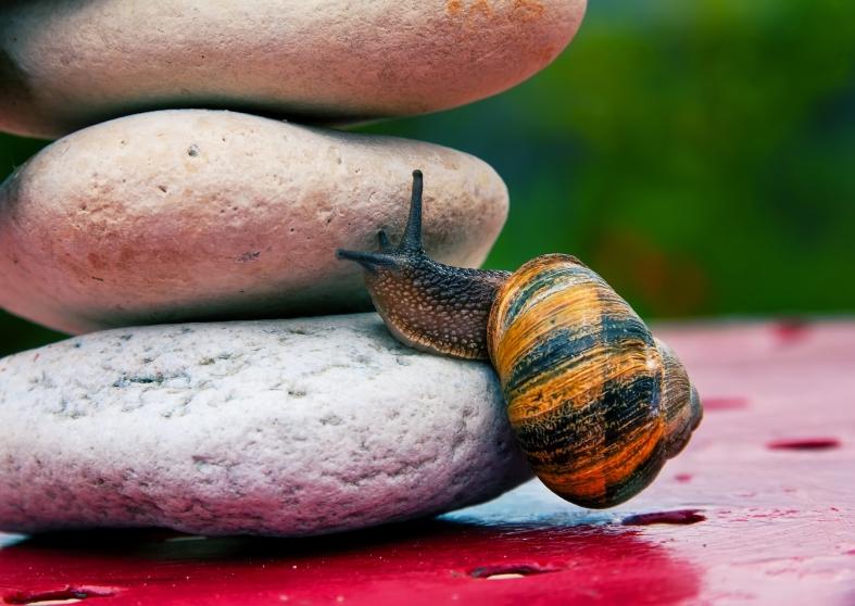 Snail Crossing A Rock Barrier